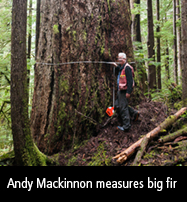 Andy Mackinnon measures a big fir