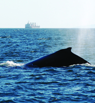 Humpback in Haro Strait