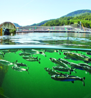 Young salmon swim close to fish farm net pens. Photo by Tavish Campbell.
